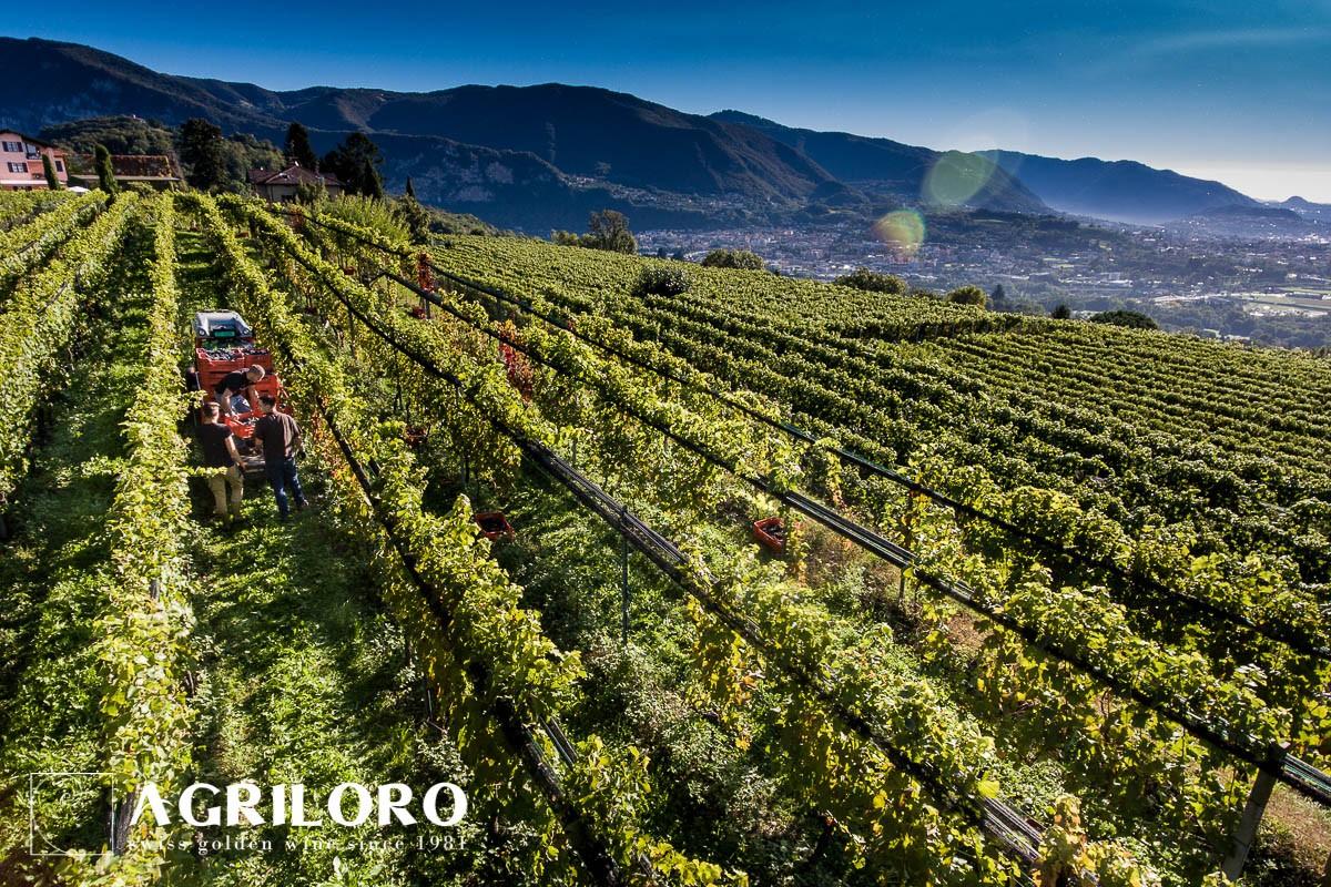 Agriloro - 'Oro Bianco' White Wine (75 CL)