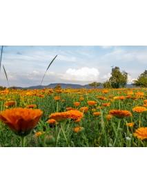 Soglio - Alpine Marigold Toner