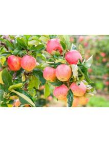 """Etter - Original """"Vieille Pomme Royale"""" Apple Liqueur (70 CL)"""