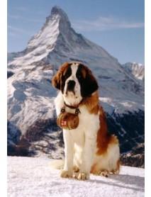 Trauffer - Swiss 'St. Bernard' Dog